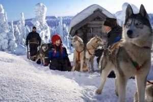 Enjoy husky ride in Lapland