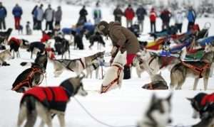 Dog huskies in Lapland